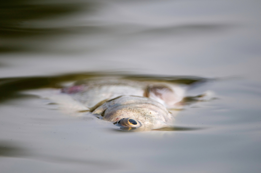 Mission: Black Storks River Elbe Germany; Biosphärenreservat Niedersächsische Elbtalaue; Biosphere Reserve Middle Elbe; Fisch; Fish