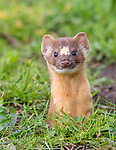 USA, California, Point Reyes National Seashore, long-tailed weasel (Mustela frenata)