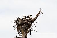00783-01810 Ospreys (Pandion haliaetus) at nest Cruickshank Sanctuary - Brevard County, FL