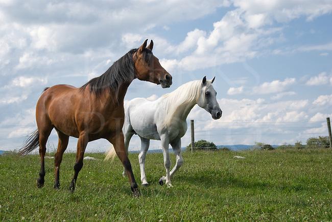 Two Arabians walking through their summer pasture under perfect summer sky.