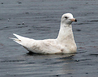 Glaucous gull first wiunter