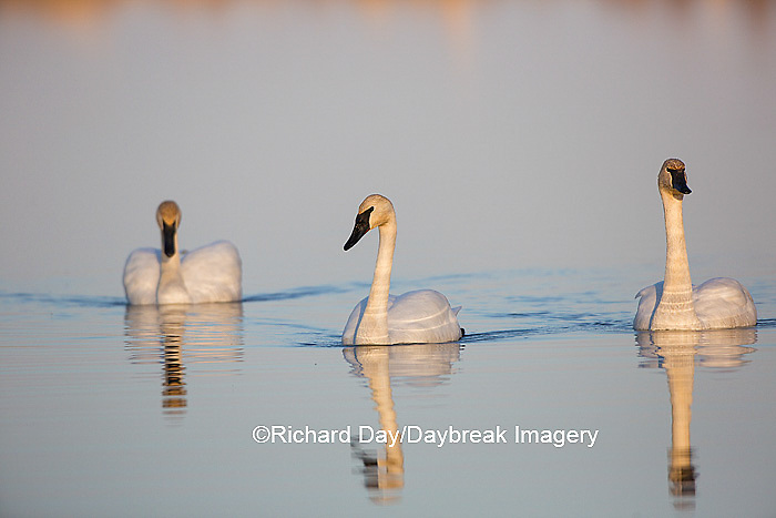 00758-01312 Trumpeter Swans (Cygnus buccinator) in wetland, Marion Co., IL