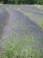 Gentle curves of a lavender field in bloom, Provence, France