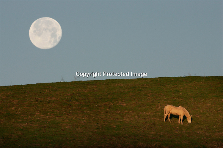 "At sunrise a lone horse grazes peacefully on a grassy hillside of ""Horse Hill"" in Mill Valley, as the full moon sets behind Mount Tamalpais. The open space of Mill Valley contains a variety of habitats within its 225 acres, including grasslands, bay/oak woodlands, and redwood/Douglas fir forests. The fire roads in this preserve are popular with hikers, bicyclists, and equestrians, offering several relatively level routes along a spectacular ridge with outstanding views of San Francisco and Mount Tamalpais. The Middle Summit Fire Road rises steeply in the northern section of the preserve to connect with the Blithedale Summit Open Space Preserve, and to points beyond. .."