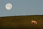 """At sunrise a lone horse grazes peacefully on a grassy hillside of """"Horse Hill"""" in Mill Valley, as the full moon sets behind Mount Tamalpais. The open space of Mill Valley contains a variety of habitats within its 225 acres, including grasslands, bay/oak woodlands, and redwood/Douglas fir forests. The fire roads in this preserve are popular with hikers, bicyclists, and equestrians, offering several relatively level routes along a spectacular ridge with outstanding views of San Francisco and Mount Tamalpais. The Middle Summit Fire Road rises steeply in the northern section of the preserve to connect with the Blithedale Summit Open Space Preserve, and to points beyond. .."""