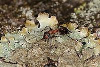 Kahlrückige Waldameise, Kleine Rote Waldameise, Formica polyctena, Waldameisen, Wood Ant, Wood Ants, Formica sensu stricto