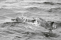 black and white composition Spinners Surface, spinner dolphin, Stenella longirostris, Kona Coast, Big Island, Hawaii, USA, Pacific Ocean