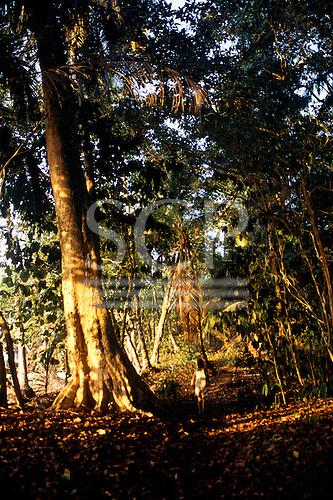 Osa Peninsula, Costa Rica. Corcovado National Park; trail through the rainforest; tourist walking below huge trees