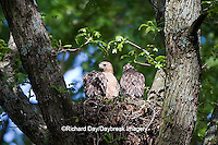 00794-00612 Red-shouldered Hawks (Buteo lineatus) adult and nestlings at nest, Marion Co., IL