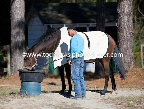Mixed Up takes a drink on the morning before the Colonial Cup at Springdale Race Course.
