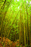 Bamboo forest along Pipiwai Trail, Haleakalā National Park, Maui, Hawaii.