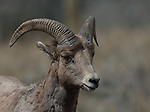 Young ram Bighorn Sheep at Spences Bridge, B.C. in spring.