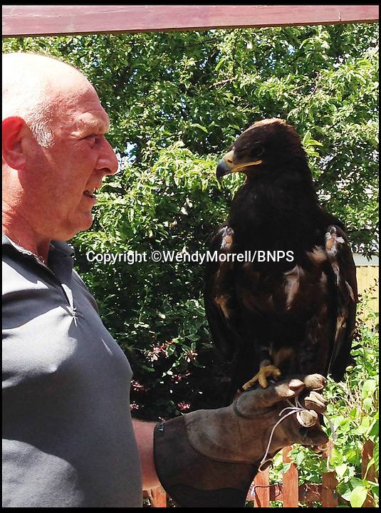BNPS.co.uk (01202 558833)<br /> Pic: WendyMorrell/BNPS<br /> <br /> ***Please use full byline***<br /> <br /> Jon Ball from Wessex Bird of Prey Rescue takes the bird outside. <br /> <br /> A woman was startled when a huge eagle swooped into her front room and landed on a cabinet while she was watching TV.<br /> <br /> Wendy Morrell couldn't believe her eyes when the 18ins tall bird of prey flew through open patio doors and into her lounge in Poole, Dorset, yesterday.<br /> <br /> The bird, a Russian Steppe eagle, knocked over ornaments with its 4ft wings as it landed on a wooden glass cabinet before pecking at a bowl of pot pourri.<br /> <br /> Wendy and friend Karen Ruddlesden tried to tempt the eagle outside using pieces of ham but when their attempts failed they phoned a local bird of prey rescue centre.<br /> <br /> After 30 minutes of trying the eagle was eventually lured down off its makeshift perch using a dead chick.<br /> <br /> It was revealed later that the young bird was called Storm and was being trained up to ward off seagulls at a nearby landfill site.<br /> <br /> It had been reported missing by owner James Moore three days prior to turning up at Wendy's house after it broke its tethers.