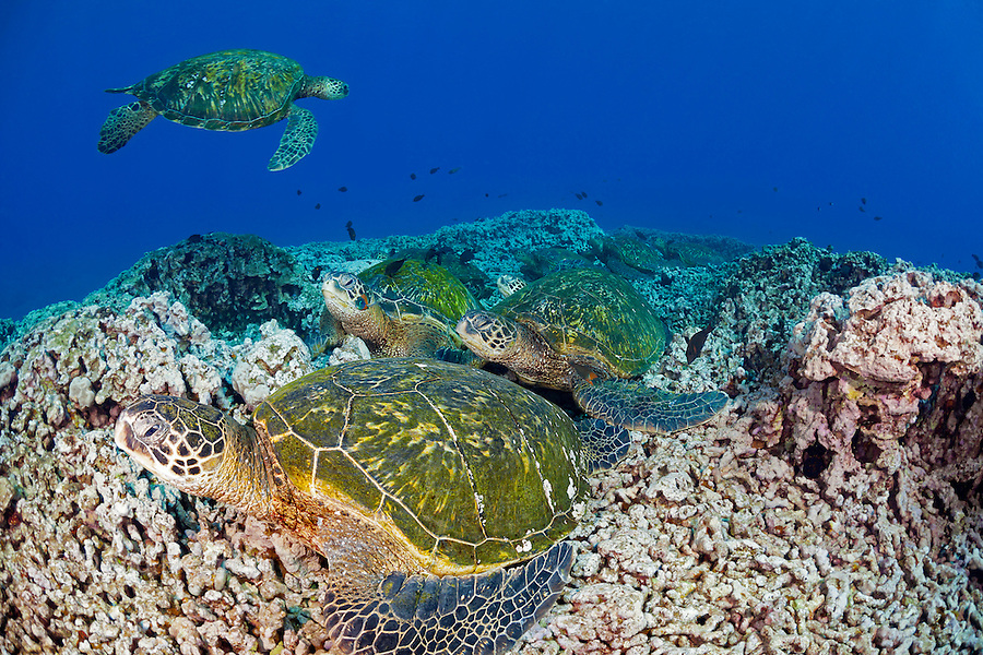 These green sea turtles, Chelonia mydas, an endangered species, have congregated at a cleaning station off the island of Maui, Hawaii.