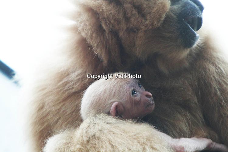 Foto: VidiPhoto..ARNHEM - De zondag geboren goudwang gibbon van moeder Lana en vader Romek in Burgers' Zoo in Arnhem, is dinsdag voor het eerst aan het publiek getoond. Omdat het buiten te koud was, gebeurde dat in het binnenverblijf. De geboorte van een goudwang gibbon komt in het Arnhemse dierenpark maar eenmaal in de twee jaar voor. Bijzonder is dat pas na vijf jaar duidelijk wordt wat het geslacht van het diertje is. Alle jongen worden blond geboren en pas als ze geslachtsrijp zijn kleuren ze zwart (mannetje) of blijven ze blond (vrouwtje). Goudwang gibbons zijn monogaam en iedere familie heeft zijn eigen klank..