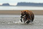 Brown Bear Catching Fish