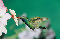 Broad-billed Hummingbird, Cynanthus latirostris,male feeding on Nicotiana (Nicotiana sp.) , Madera Canyon, Arizona, USA, May 2005