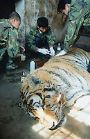 China. Province of Heilongjiang. Harbin. Siberia Tiger Park. A group of veterinary surgeons, dressed with military clothes, treats a wounded tiger which sleeps under narcosis. The tiger lays on the ground in its cell cage. © 2004 Didier Ruef
