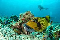 Balistes viridescens, Balistoides viridescens, Gruener Riesen Drueckerfisch und Taucher, Giant or Titan Driggerfish and scuba diver, Malediven, Indischer Ozean, Baa Atoll, Maldives, Indian Ocean
