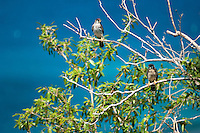 Killi Killi Birds / Sparrow Hawks mating pair.along the Johnny Horn Trail.Leinster Bay.Virgin Islands National Park