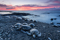 A bale of honu (or Hawaiian green sea turtles) make their way up the beach to rest for the night in Puako, Big Island.