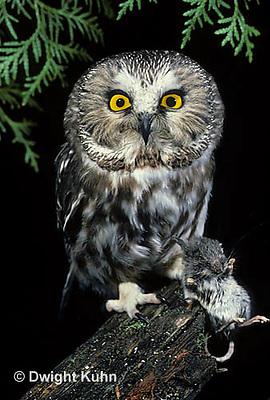 OW03-081b  Saw-whet owl - with mouse prey - Aegolius acadicus