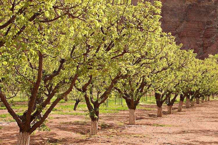 Glen Canyon National Recreation Area, AZ / APR.Planted in 1965 by private owners, the orchard at Lees Ferry/Lonely Dell Ranch is now maintained by the National Park Service.
