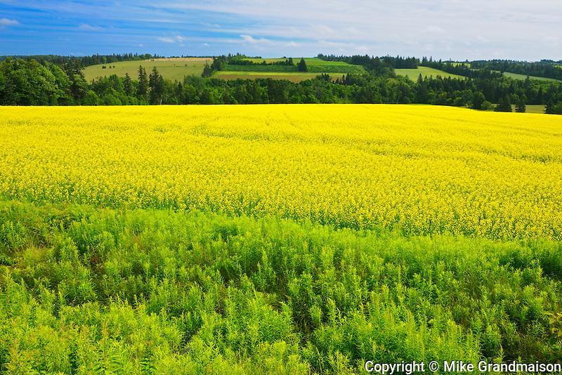 Canola field<br /> Brookfield<br /> Prince Edward Island<br /> Canada
