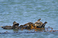 Sea Otter (Enhydra lutris) stretching while resting in kelp.