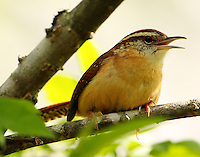 Carolina wren objecting to my presence