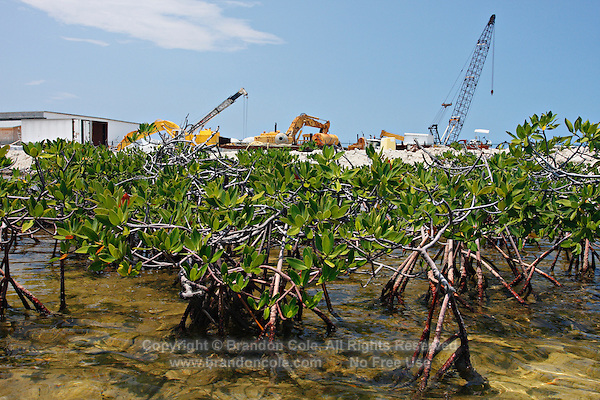 qa70564-D. Critical mangrove habitat, here Red Mangroves (Rhizophora mangle), is disappearing rapidly as development of the Bimini Bay Resort moves forth. Bimini, Bahamas, Atlantic Ocean. .Photo Copyright © Brandon Cole. All rights reserved worldwide.  www.brandoncole.com..This photo is NOT free. It is NOT in the public domain. This photo is a Copyrighted Work, registered with the US Copyright Office. .Rights to reproduction of photograph granted only upon payment in full of agreed upon licensing fee. Any use of this photo prior to such payment is an infringement of copyright and punishable by fines up to  $150,000 USD...Brandon Cole.MARINE PHOTOGRAPHY.http://www.brandoncole.com.email: brandoncole@msn.com.4917 N. Boeing Rd..Spokane Valley, WA  99206  USA.tel: 509-535-3489