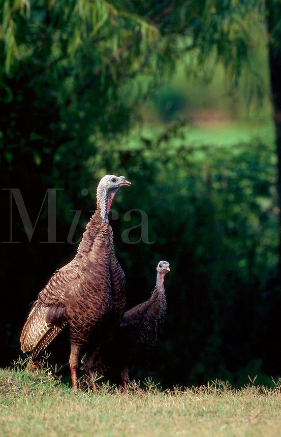 An Eastern Wild Turkey hen.