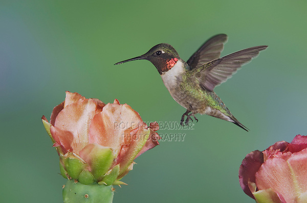 Ruby-throated Hummingbird, Archilochus colubris, male in flight feeding on Texas Prickly Pear Cactus (Opuntia lindheimeri), Uvalde County, Hill Country, Texas, USA, April 2006