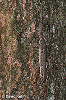 0507-08vv  Flat-tailed House Gecko, Climbing, Cosymbotus platyurus © David Kuhn/Dwight Kuhn Photography