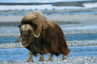 Male muskox, Arctic National Wildlife Refuge, Alaska, summer.
