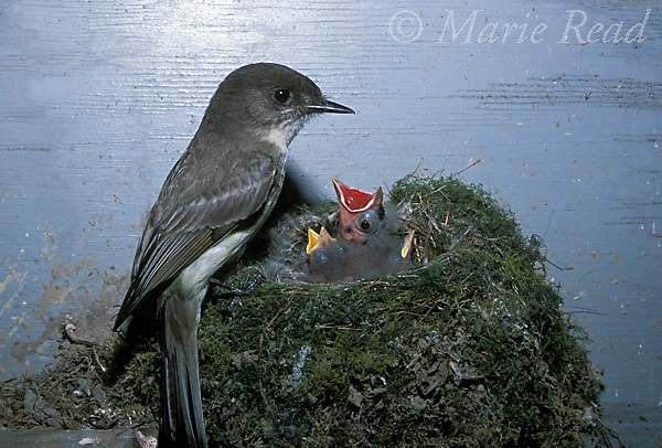 Brood parasitism: Eastern Phoebe (Sayornis phoebe) nest with begging Brown-headed Cowbird (Molothrus ater) nestling. Cowbird nestling is large, has red gape, eyes open. Phoebe nestlings are smaller, have yellow gape, eyes still closed, New York, USA<br /> Slide # B105-41 (Digitally retouched image)<br /> Digitally retouched image (background cleaned up)