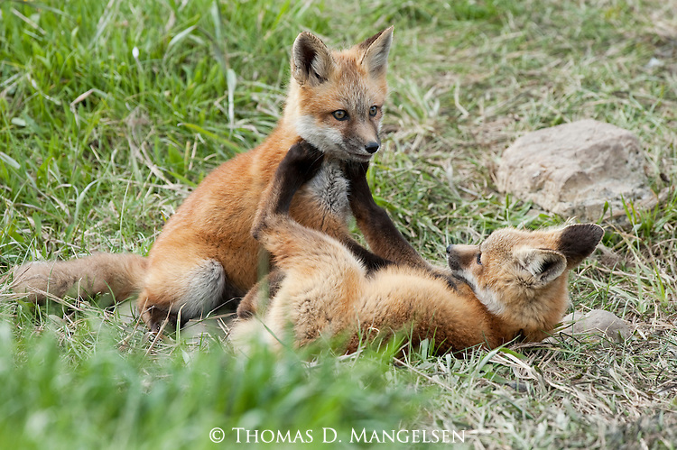 Red fox kits playing together in a meadow in Wyoming.