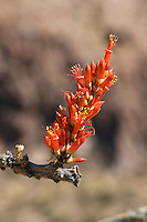 Flowers of ocotillo, Fouquieria splendens, Organ Pipe Cactus National Monument, Arizona.