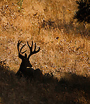 a trophy class mule deer buck in velvet bedded in shade in late summer in montana