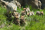 Coyote with her eight pups in Yellowstone National Park.