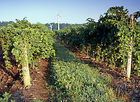 Grape Vines at Sunrise in Niagara Peninsula