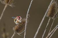 Stieglitz, Distelfink, frisst an Samenständen von Wilder Karde, Vogel des Jahres 2016, Carduelis carduelis, European goldfinch, goldfinch, Le Chardonneret élégant