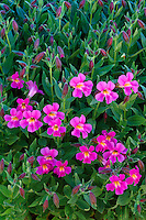 Lewis monkeyflower<br />