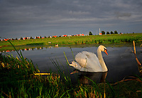 Amsterdam Holland Netherlands water dusk swan bird goose reflection country countryside Europe canal