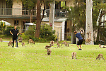 Eastern Grey Kangaroo (Macropus giganteus) mob grazing on golf course around men playing, Jervis Bay, New South Wales, Australia