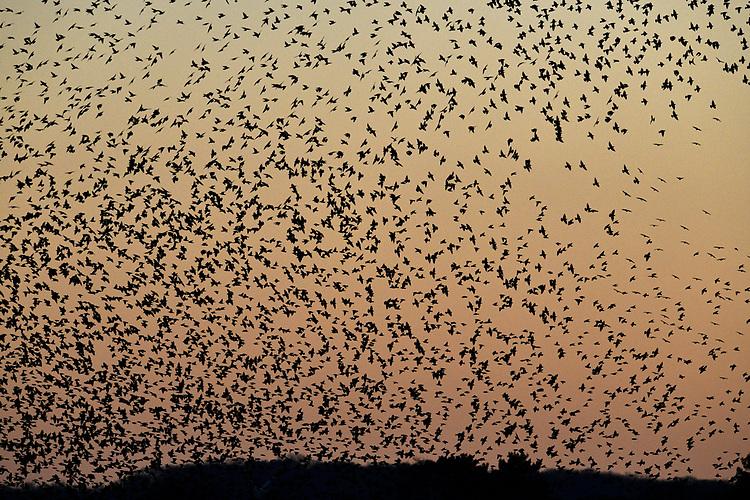 Starlings - Sturnus vulgaris