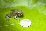 Green frog, Rana clamitans, immature