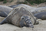 Molting bull elephant seal at Ano Nuevo State Park