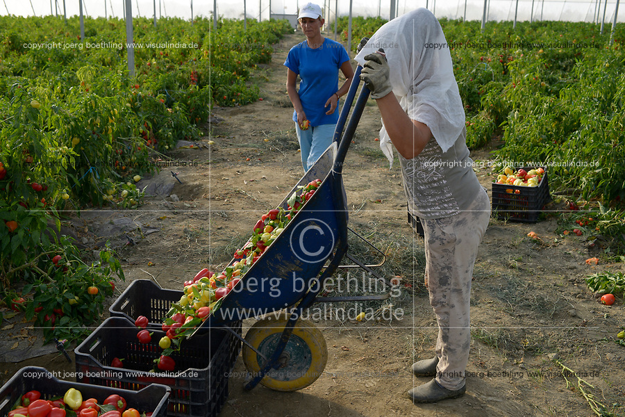 ALBANIA, Lushnje, capsicum harvest in green house of Agrocon of Balfin Group / ALBANIEN, Lushnje, Frauen ernten Paprika im Gewaechshaus von Agrocon