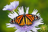 Monarch butterfly (Danaus plexippus) on Stokes' Aster (Stokesia laevis) flowers, summer, North America.